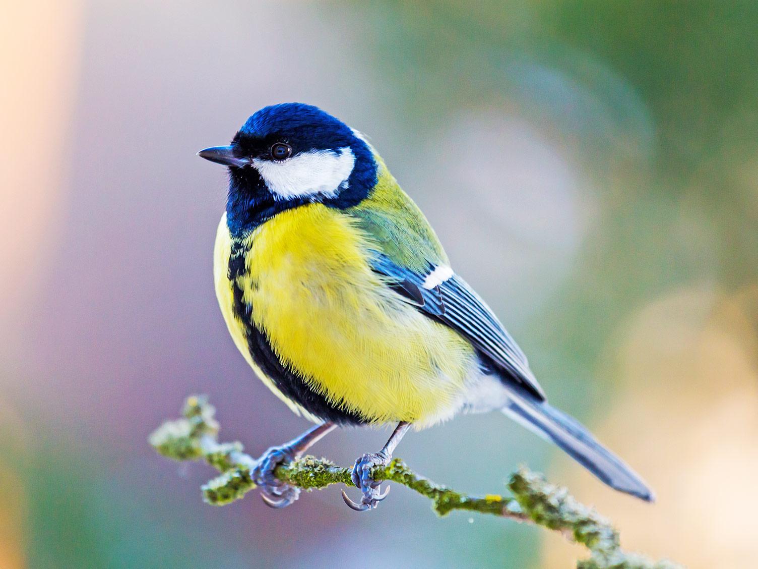 Blue Tit, bird