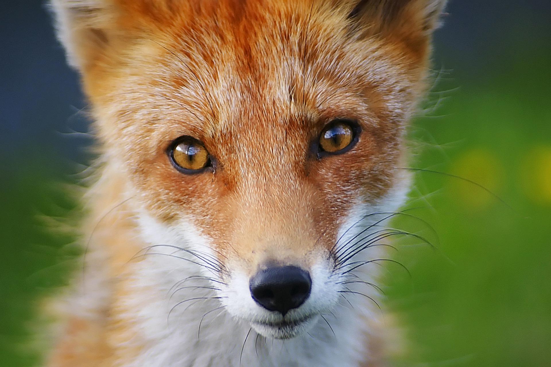 Foxwatch Deterrent